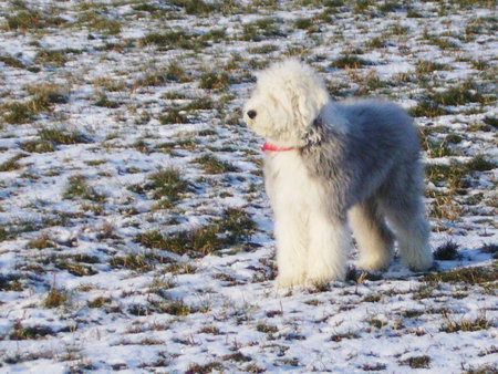 Old English Sheepdog / Fuhlendorf\\n\\n18.02.2012 13:53
